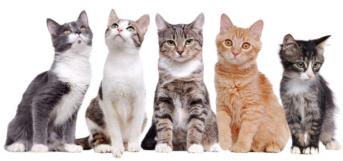 三大貓貓常見疾病 治療費超貴 PetbleCare 寵物保險